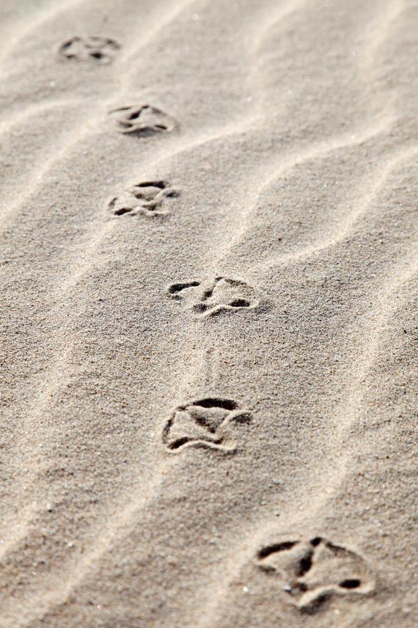 Free Seagull Footprints In The Sand Stock Photography - 10666362
