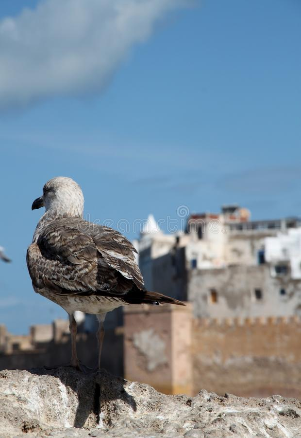 Seagull in front of Essaouira town in Morocco stock photography