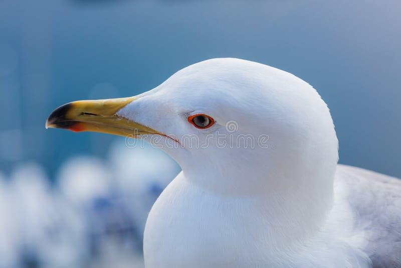 Seagull głowy zakończenie w górę widoku fotografia stock