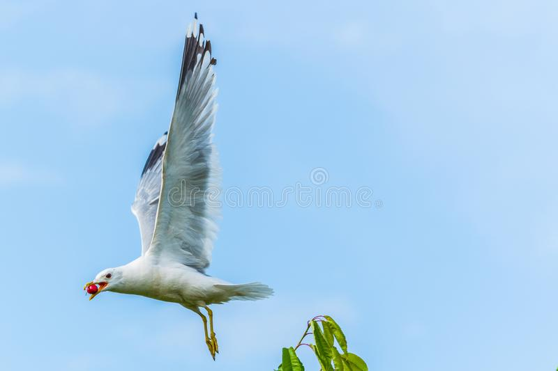 A seagull gets a cherry in flight from a cherry tree royalty free stock photos