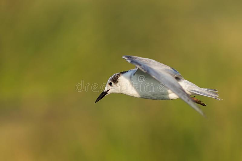 A seagull in golden light royalty free stock image