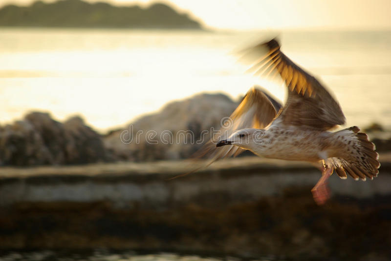 Download Seagull In Golden Sunlight Royalty Free Stock Photo - Image: 14647125