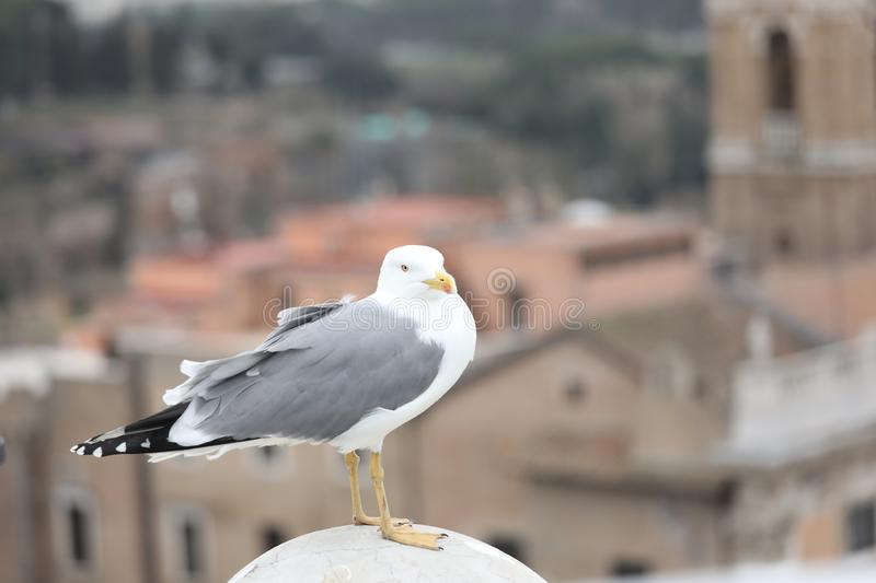 Seagull with grey plumage in european city. One big seagull with grey plumage in european city royalty free stock photo