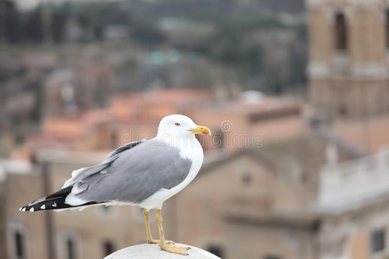 Seagull with grey and white plumage in european city. One big seagull with grey and white plumage in european city in winter royalty free stock image