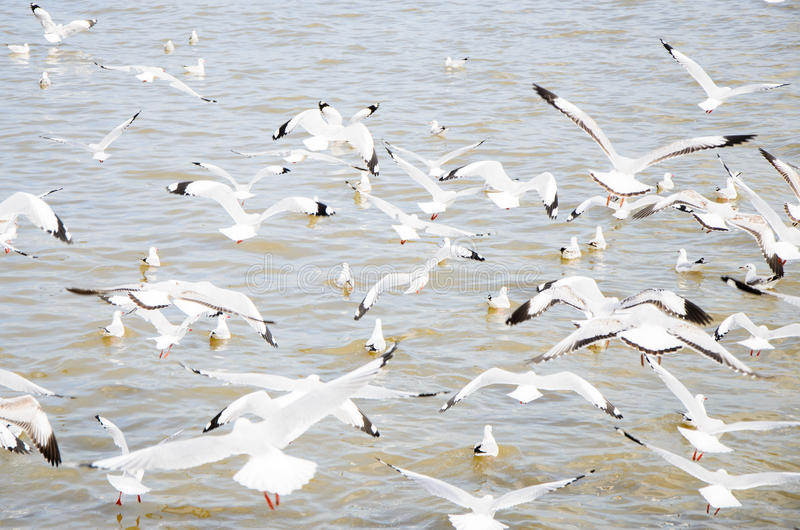 Bangpu, Thailand : Seagull group flying. royalty free stock images