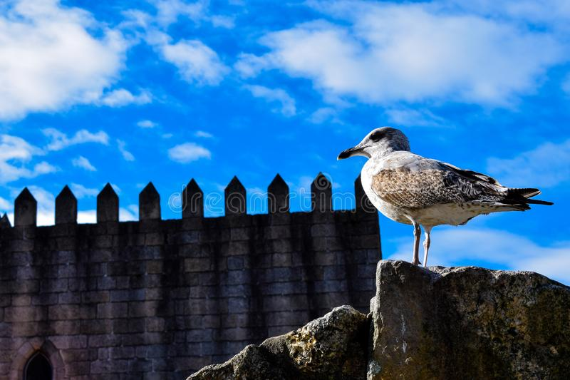 The Watchful Gull royalty free stock photos
