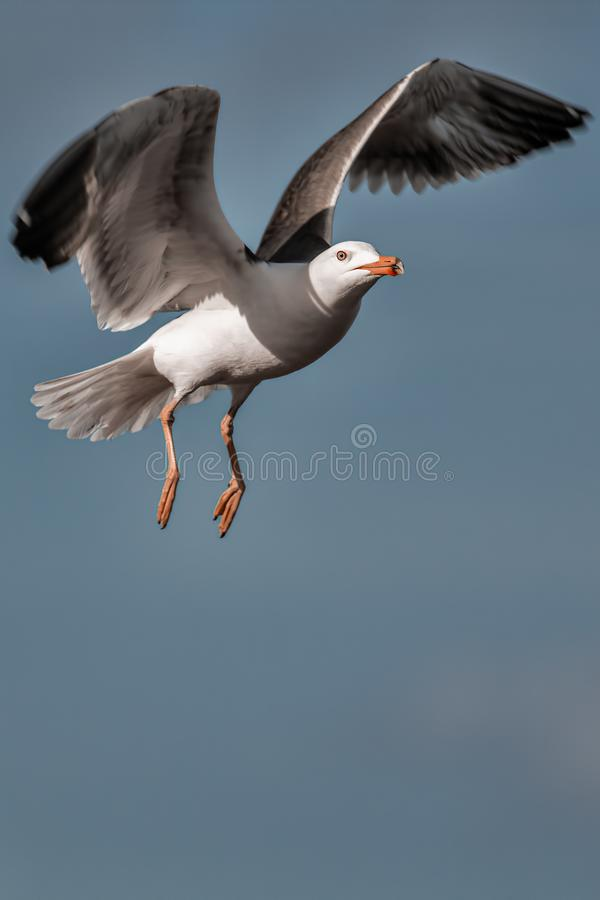 Seagull. Gull bird hovering against plain sky background. royalty free stock photography