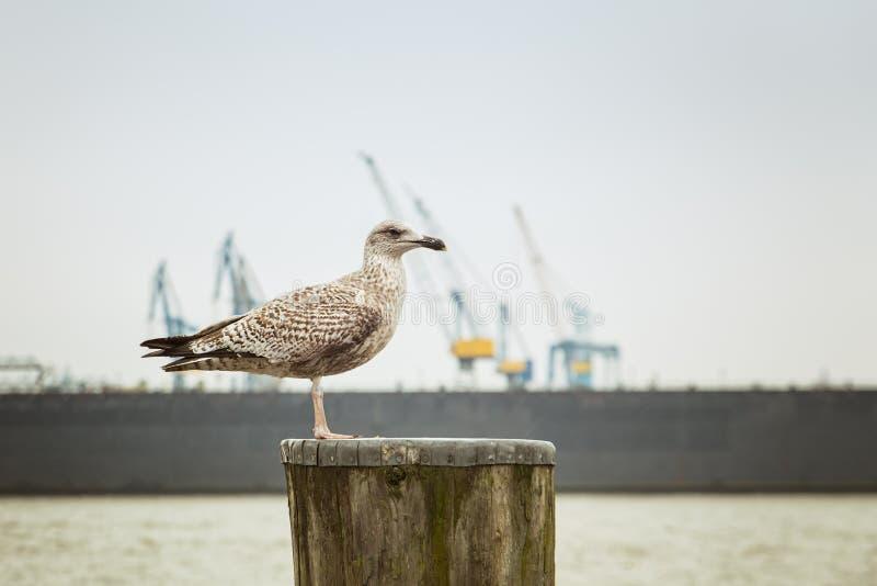 Seagull & Hamburg stock image