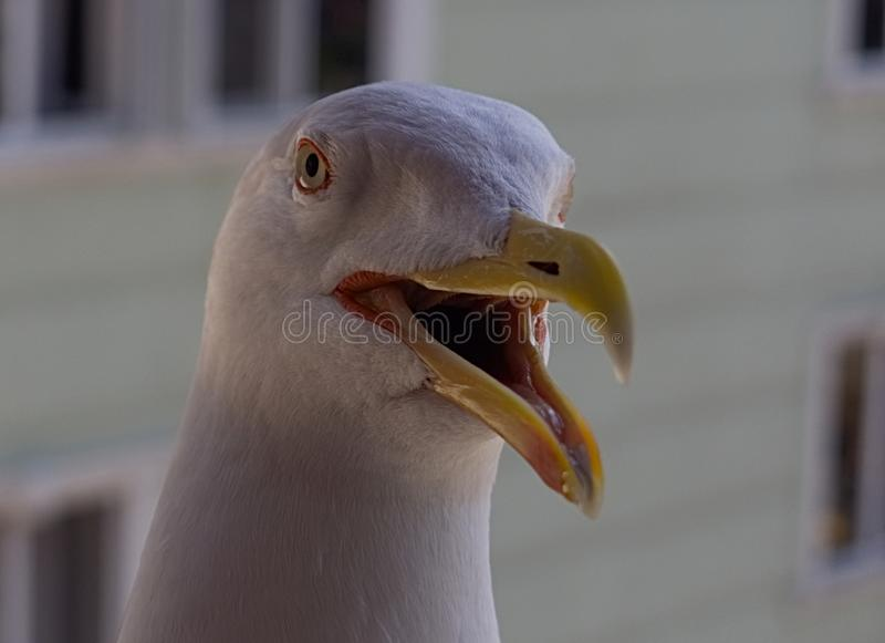 Seagull head close up royalty free stock photography