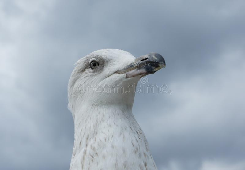 Seagull head in detail stock image