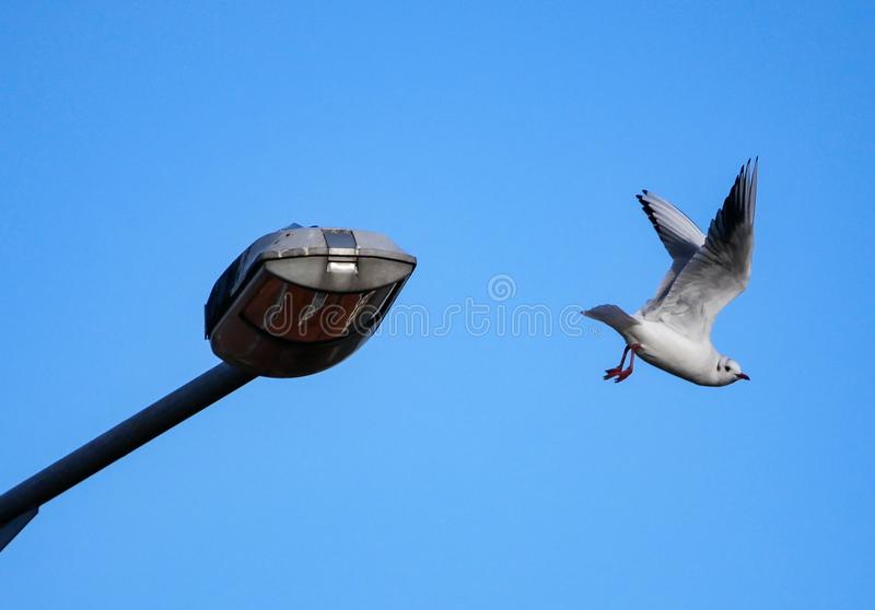 Seagull / Herring gull flying away from street lamp. In the city against blue sky stock images