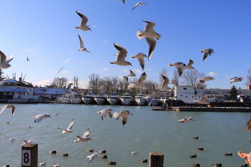 Seagull Hey thoes πάλη για την πάλη αέρα anf για τα τρόφιμα στοκ εικόνα με δικαίωμα ελεύθερης χρήσης