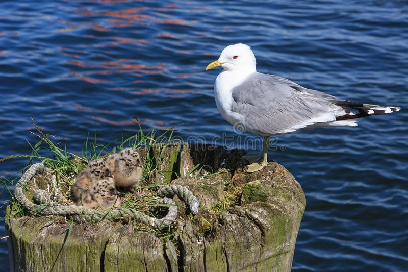 Download Seagull stock photo. Image of life, english, fluffy - 102297072