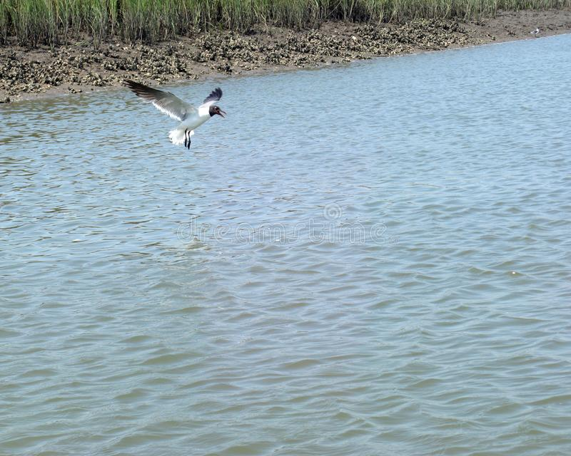bird hoveing above salt water in Charleston South Carolina with oyster bed and marsh background royalty free stock photo