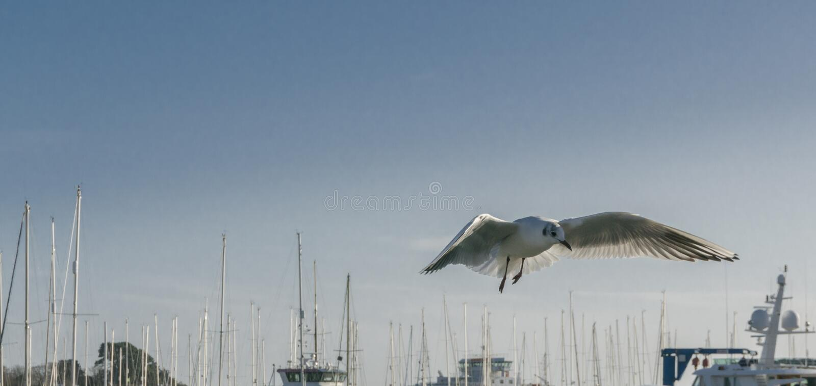 A seagull hovering in flight stock photos