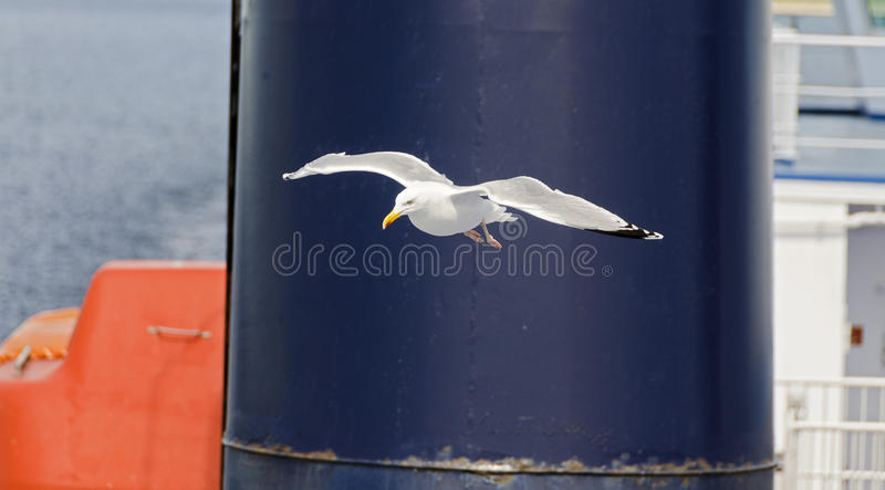 Seagull hovering in front of a funnel. Seagull hovering in front of the funnel of a ferry ship royalty free stock images