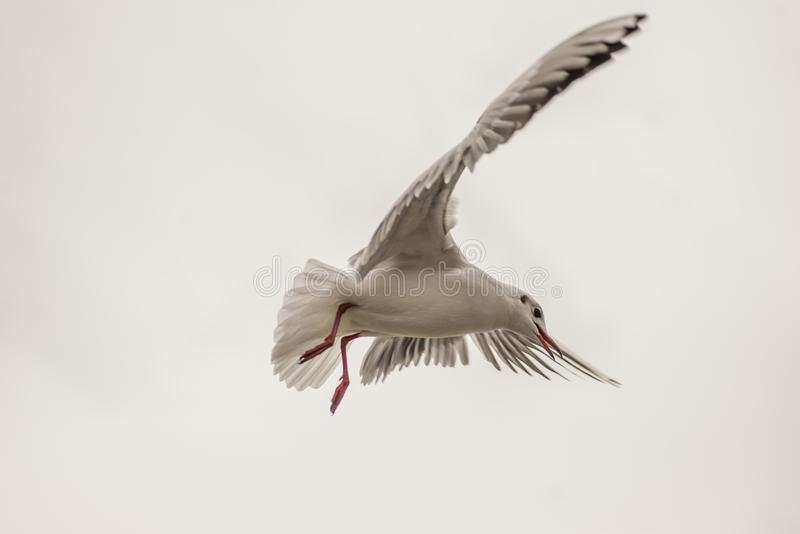 Seagull hovering 2 stock photo