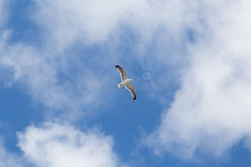 Seagull hovering in the sky stock image