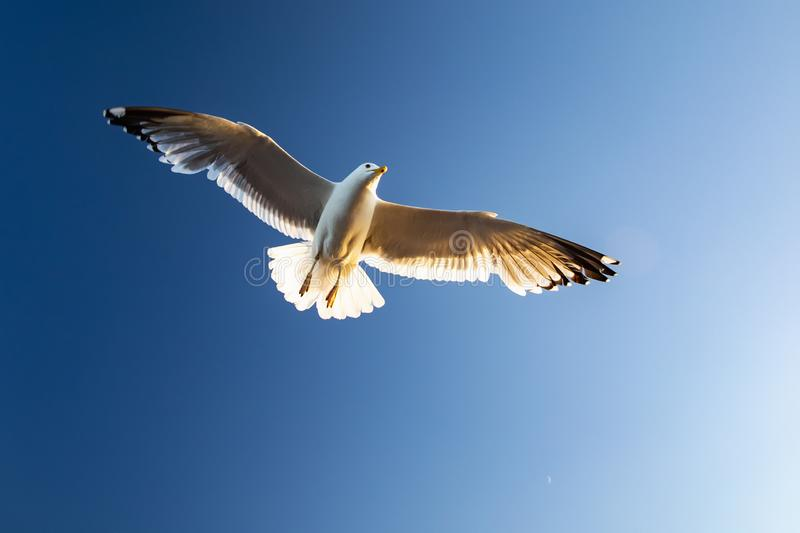 Seagull hovers over the waters of lake Baikal royalty free stock photography