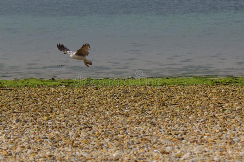 Seagull hunting in flight. stock images