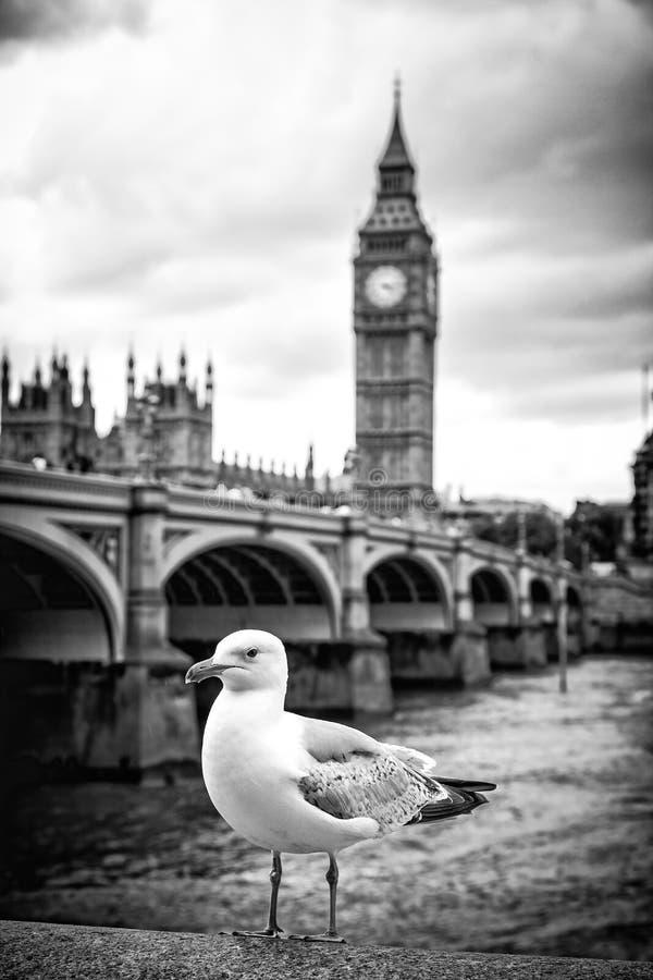 Seagull i Big Ben obraz stock