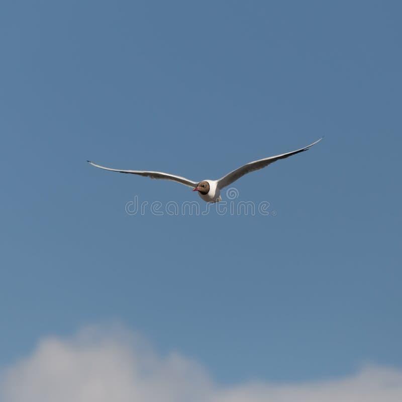 Seagull i blåttskyen royaltyfri bild