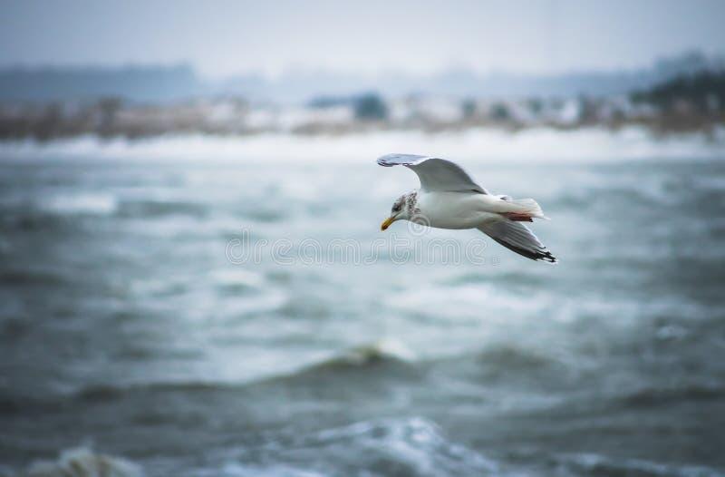 Seagull i Danmark royaltyfri bild