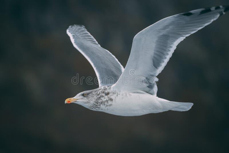 Seagull i de Lofoten öarna fotografering för bildbyråer