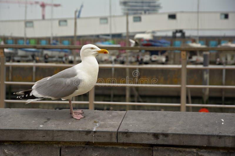 Seagull i den stads- miljön (laridaen) fotografering för bildbyråer
