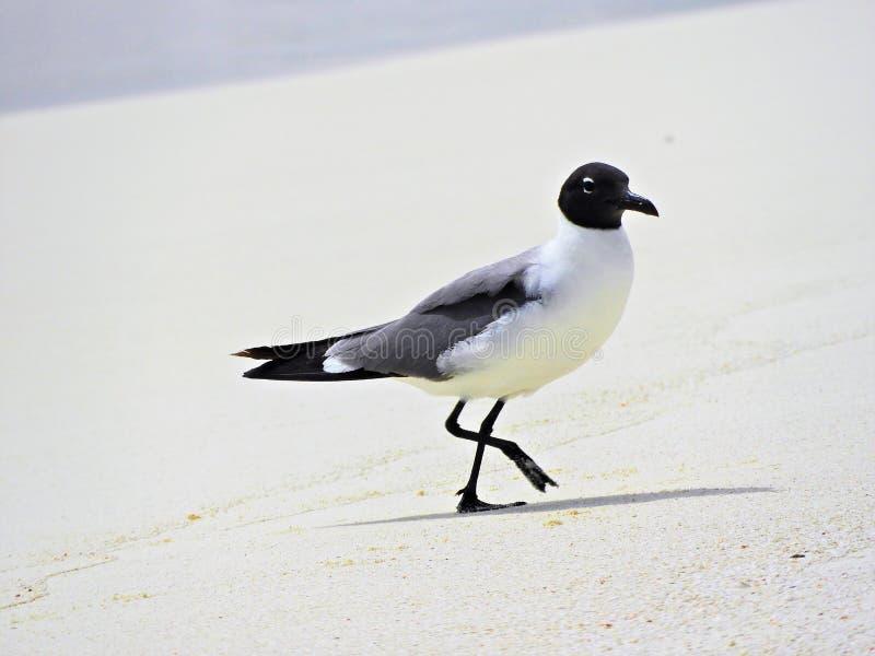 Seagull i det karibiska havet royaltyfri foto