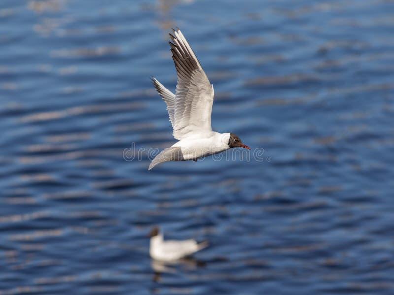 Seagull i flyg arkivbilder