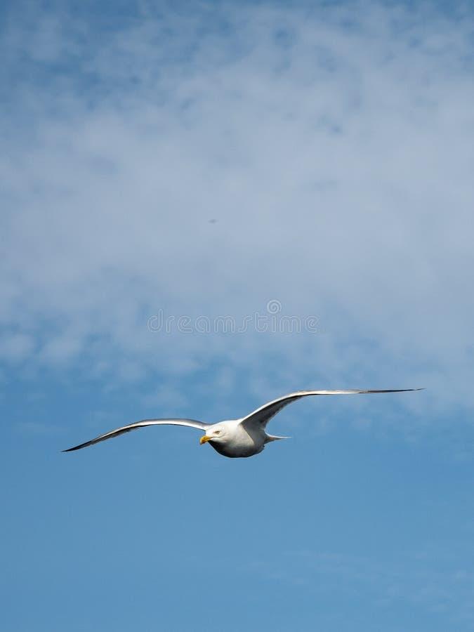 Seagull i flyg fotografering för bildbyråer