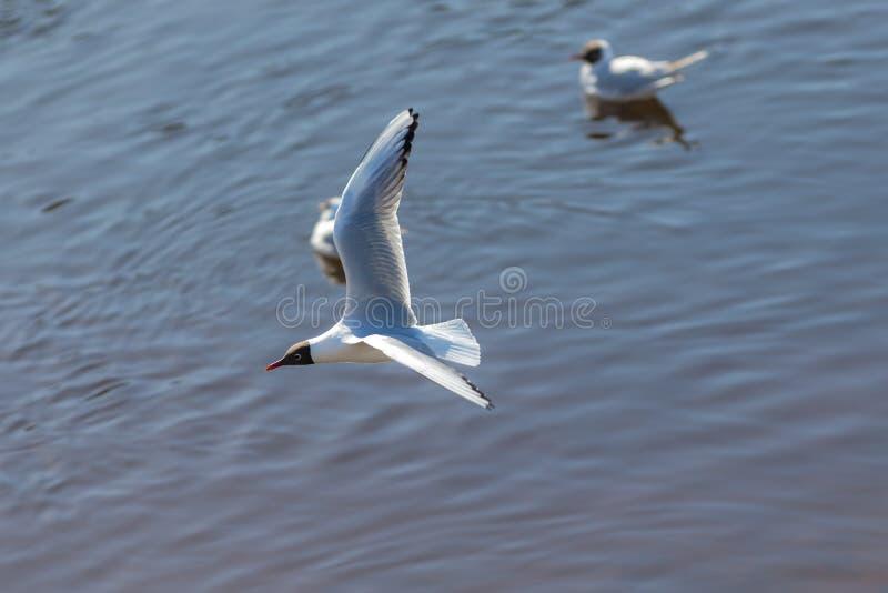 Seagull i flykten över vattnet arkivbilder