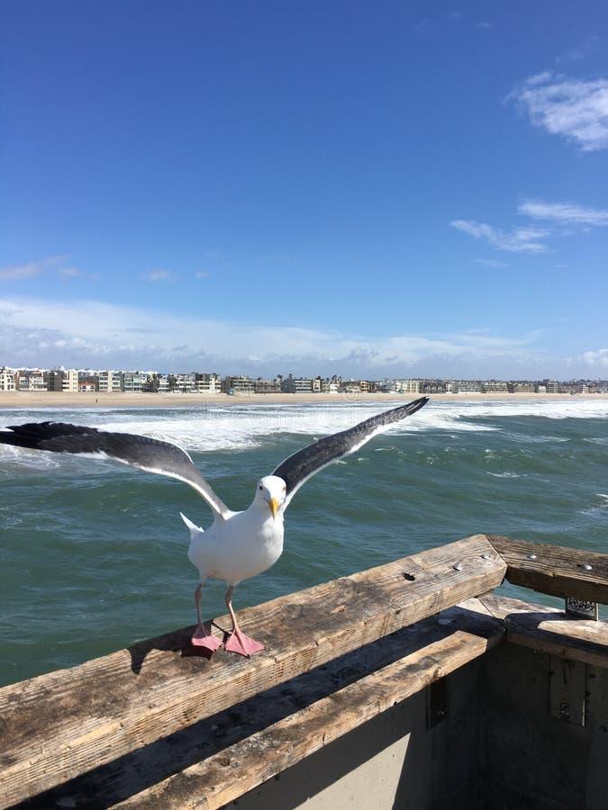 Seagull i flykten på den Venedig strandpir royaltyfri fotografi