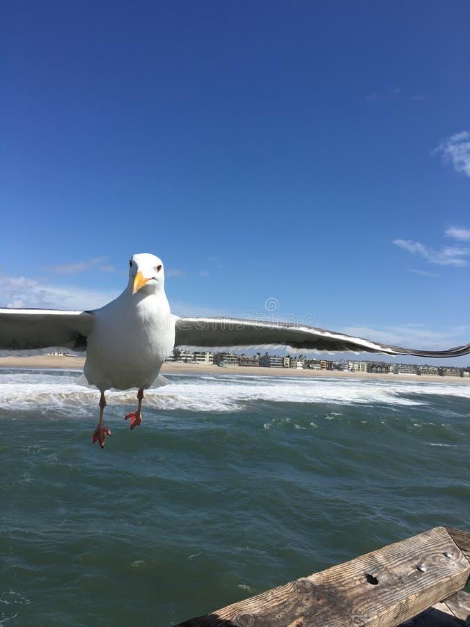 Seagull i flykten på den Venedig strandpir royaltyfria foton