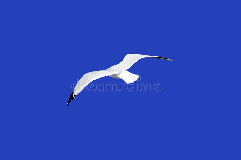 Seagull i flykten som isoleras på blåttjordning arkivfoton
