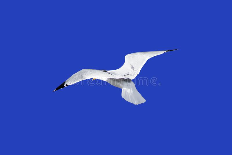 Seagull i flykten som isoleras på blåttjordning royaltyfri fotografi