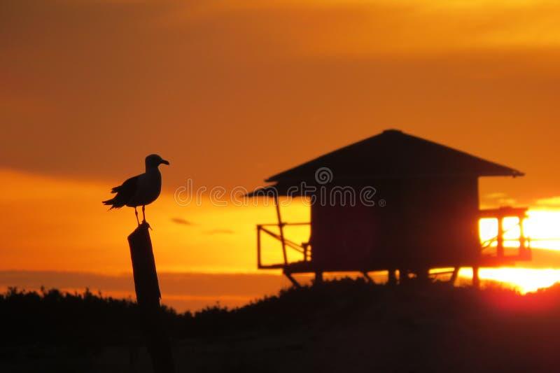 Seagull i jipposoluppgång på stranden arkivfoton