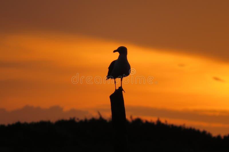 Seagull i jipposoluppgång på stranden royaltyfri foto