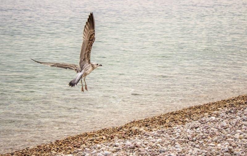 Seagull i morze obraz stock