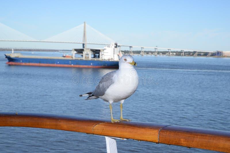 Seagull i porten av charlestonen royaltyfri bild