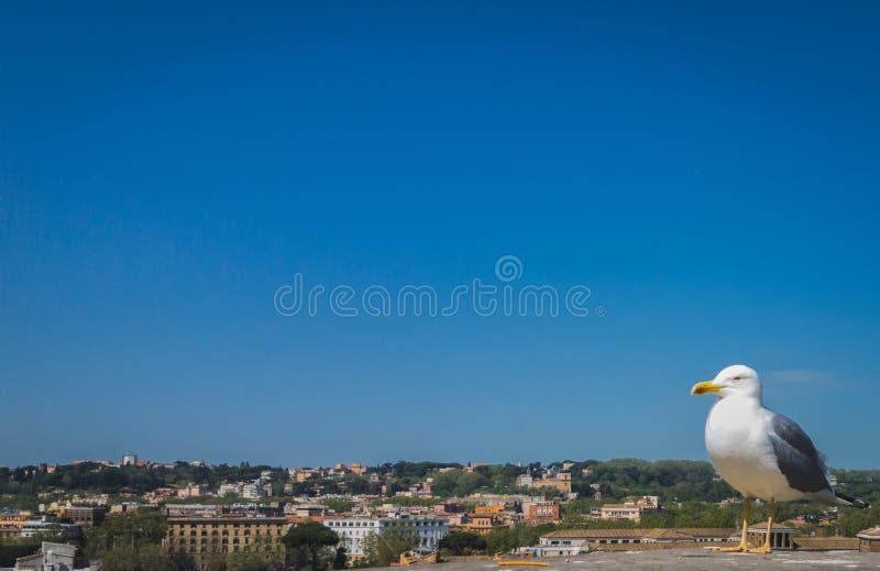 Seagull i Rome royaltyfria bilder
