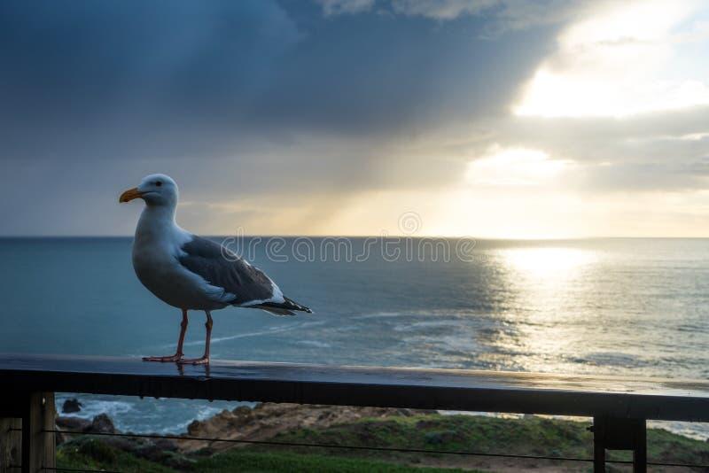 Seagull i Sonoma royaltyfria foton
