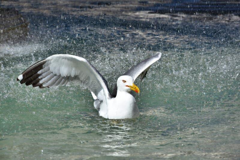 Seagull i springbrunn i Rome royaltyfri bild