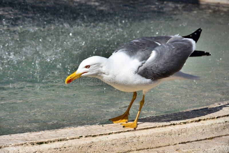 Seagull i springbrunn i Rome royaltyfri foto