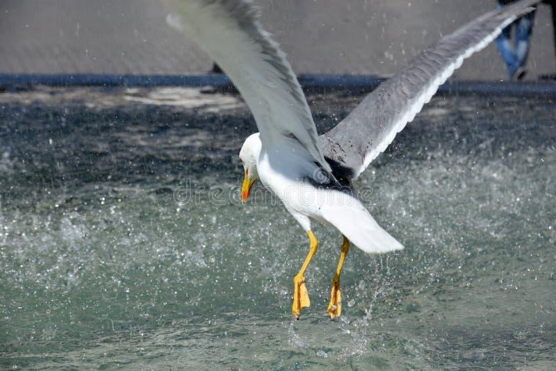 Seagull i springbrunn i Rome arkivbilder