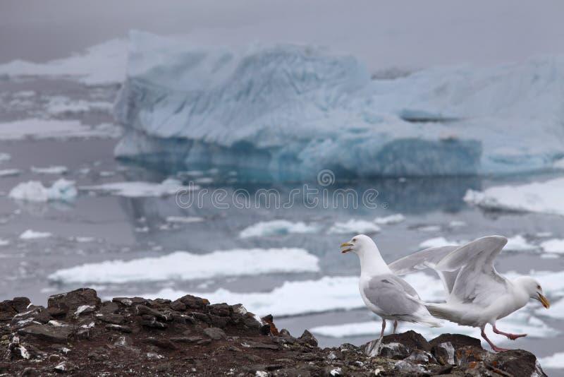 Seagull with iceberg background stock photo