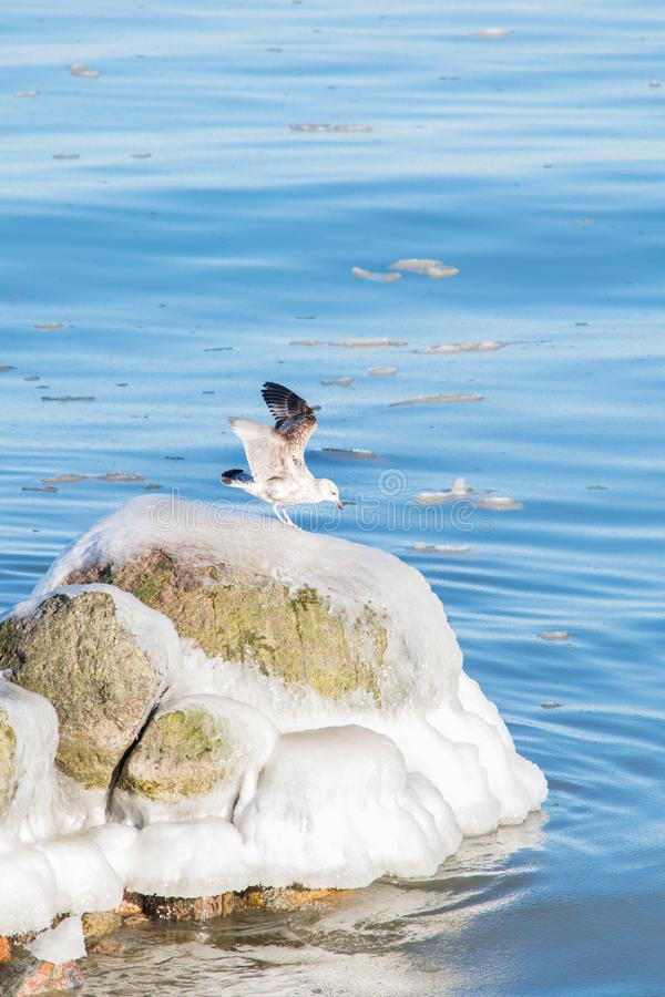 Seagull on icy stone royalty free stock photos