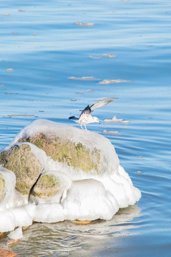 Seagull on icy stone stock image