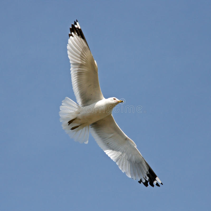 Free Seagull In Flight Royalty Free Stock Photography - 12441427